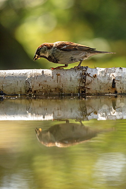 A young House Sparrow reflected in a pond in a North Yorkshire garden, England, United Kingdom, Europe