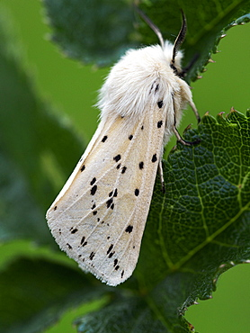 White Ermine moth, County Clare, Munster, Republic of Ireland, Europe