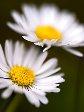Daisy, County Clare, Munster, Republic of Ireland, Europe