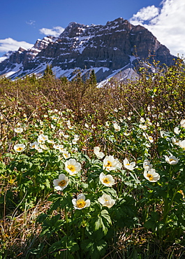 White Globe Flowers and Crowfoot Mountain, Banff National Park, UNESCO World Heritage Site, Alberta, Canadian Rockies, Canada, North America