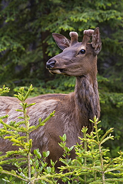 Elk (wapiti) with new velvet antlers, Banff National Park, Alberta, Canada, North America