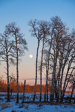 Full Moon and Aspen Grove during a Winter Sunset, Elk Island National Park, Alberta, Canada, North America