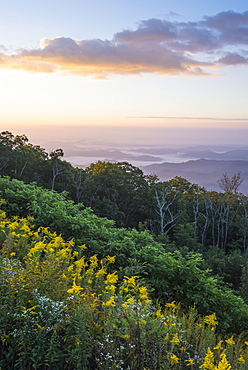 Golden rods and sunrise over the Blue Ridge Mountains, North Carolina, United States of America, North America