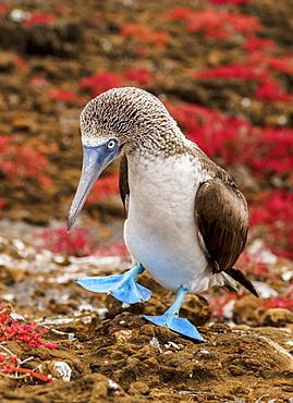 Blue-footed booby (Sula nebouxii), Punta Pitt, San Cristobal (Chatham) Island, Galapagos, UNESCO World Heritage Site, Ecuador, South America