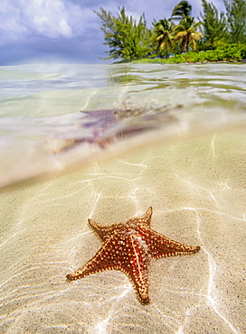 Sea star at Starfish Point, North Side, Grand Cayman, Cayman Islands, Caribbean, Central America