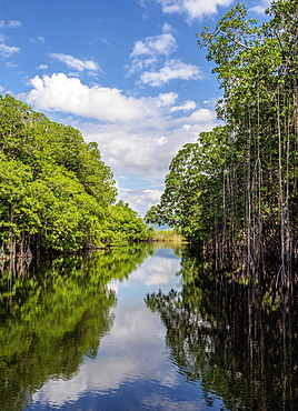 Mangrove Forest seen during Black River Safari, Saint Elizabeth Parish, Jamaica, West Indies, Caribbean, Central America