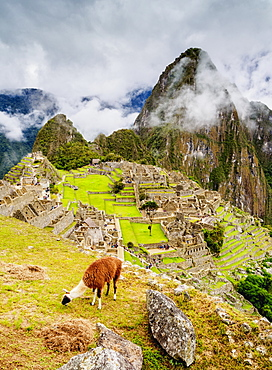 Llama in Machu Picchu, UNESCO World Heritage Site, Cusco Region, Peru, South America