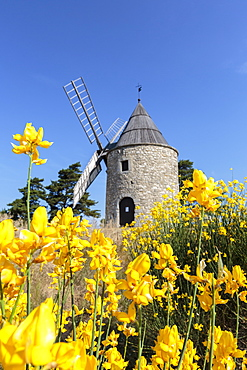Saint-Elzear windmill with yellow flowers in the foreground, Montfuron, Alpes-de-Haute-Provence, Provence-Alpes-Cote d'Azur, France, Europe