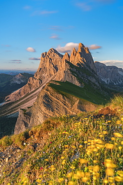 Globeflowers by Seceda mountain in Ortisei, Italy, Europe