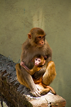 Monkeys of the Swayambhunath Monkey Temple, Kathmandu, Nepal, Asia