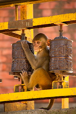 Monkey and Buddhist prayer wheels, the Swayambhunath Monkey Temple, Kathmandu, Nepal, Asia