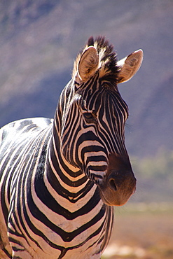 A zebra, Aquila Safari Game Reserve, Cape Town, South Africa, Africa