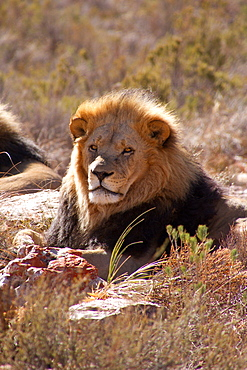 A lion, Aquila Safari Game Reserve, Cape Town, South Africa, Africa