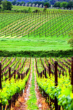 Green vineyard, Tuscany