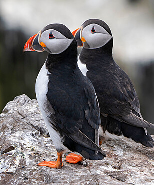 Breeding pair of Puffins (Fratercula arctica) perched on rocks at Inner Farne Island, Farne Islands, Northumberland