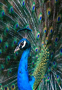 Indian Peacock (Pavo Cristatus) plumage display in the grounds of Barcelona Zoo, Catalonia, Spain, Europe