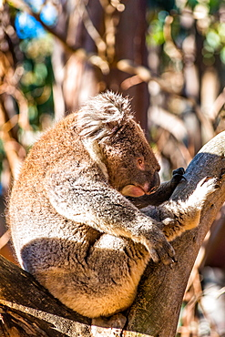 Koala in the wild, Kangaroo Island, South Australia, Australia, Pacific