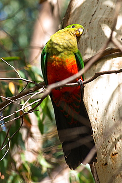 Female red winged parrot in the trees at Kangaroo Island. South Australia, Australia, Pacific