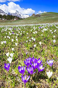 Flowering of crocus nivea at Alp Flix, Sur, Surses, Parc Ela, Region of Albula, Canton of Graubunden, Switzerland, Europe