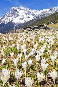 Flowering of Crocus Nivea, Valmalenco, Valtellina, Lombardy, Italy, Europe