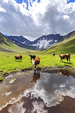 Cows drink in a puddle in the Malatra Valley. Ferret Valley, Courmayeur, Aosta Valley, Italy, Europe