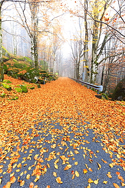 Leaves on the road through the forest of Bagni di Masino, Valmasino, Valtellina. Lombardy, Italy, Europe