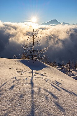 Tree projecting shadow on the fresh snow at sunset, Valmalenco, Valtellina, Lombardy, Italy, Europe