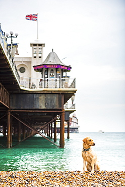 Golden labrador on Brighton Beach, Brighton and Hove, East Sussex, England, United Kingdom, Europe