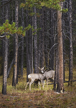 Deer licking each other, Banff National Park, Alberta, Canada, North America
