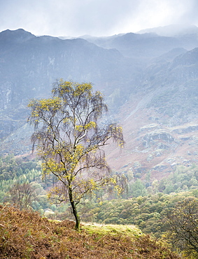 Lone tree, Grange, Lake District, Cumbria, England, United Kingdom, Europe