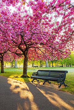 Cherry blossom in Greenwich Park, London, England, United Kingdom, Europe