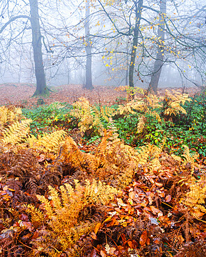 Heavy fog, Beeches with bracken in Autumn with their attractively coloured leaves at Woodbury Castle, near Exmouth, Devon, UK.