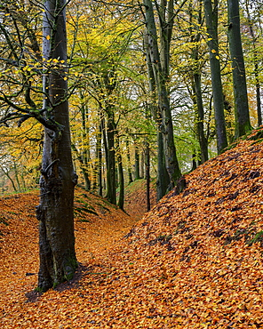 Beech trees in autumn with their attractively coloured leaves at Woodbury Castle, near Exmouth, Devon, England, United Kingdom, Europe