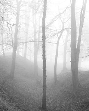 Beech trees in winter fog at Woodbury Castle, near Exmouth, Devon, UK.