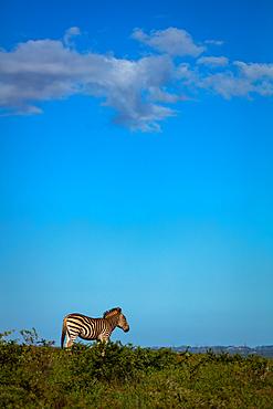 Zebra on Safari, South Africa, Africa