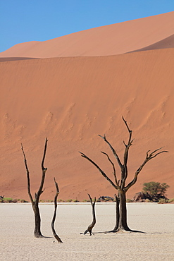 900 year old dead trees within Deadvlei, Sossusvlei, Namibia, Africa