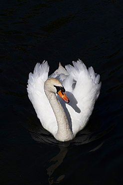 White swan swimming in a lake on black background, Copenhagen, Denmark, Europe