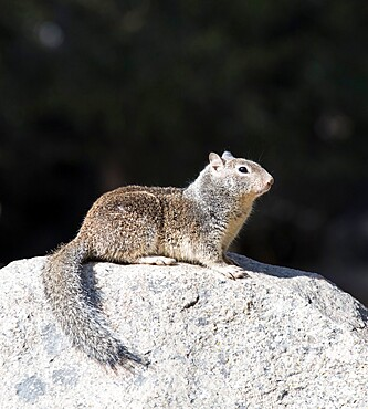 California ground squirrel, Otospermophilus beecheyi, on granite rock, Yosemite Village, Yosemite National Park, California, USA