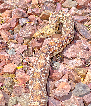 Closeup of an Arizona Gopher Snake (Pituophis Catenifer), a non-venomous constrictor harmless to humans, Arizona, United States of America, North America