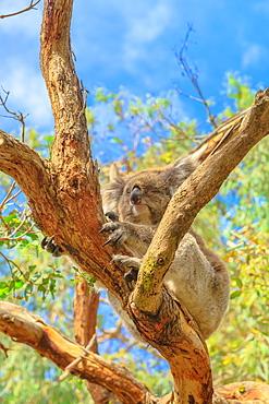 Adult koala bear with sharp nails on eucalyptus trunk along koala boardwalk at Phillip Island, Koala Conservation Centre, Victoria, Australia, Pacific
