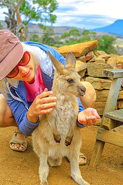 Woman feeding little kangaroo (Macropus rufus) by hand outdoors, Australian marsupial animal, New South Wales, Australia, Pacific