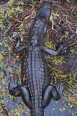 Alligator in Barataria Swamp, New Orleans, Louisiana, United States of America, North America