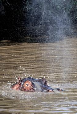 Hippo spraying water in a pool, Maasai Mara, Kenya, East Africa, Africa