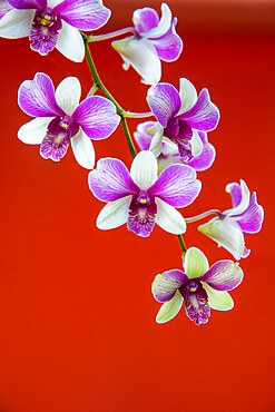 Detail of a wild orchid growing in Siem Reap, Cambodia, Indochina, Southeast Asia, Asia