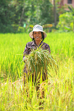 Rice harvesting in Siem Reap, Cambodia, Indochina, Southeast Asia, Asia