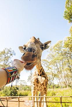 Feeding a giraffe in Nairobi, Kenya, East Africa, Africa