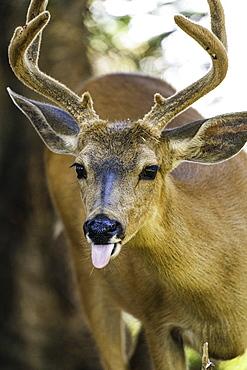 Roosevelt Elk at Olympic National Park, UNESCO World Heritage Site, Washington State, United States of America, North America - 1320-110