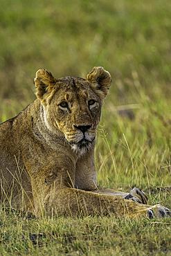 A Lion, Panthera leo, in the Maasai Mara National Reserve, Kenya.