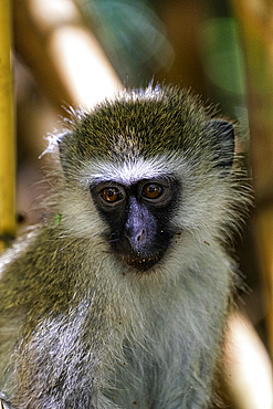 A Tantalus monkey, Chlorocebus tantalus, in a Bamboo forest in Amboseli National Park, Kenya.
