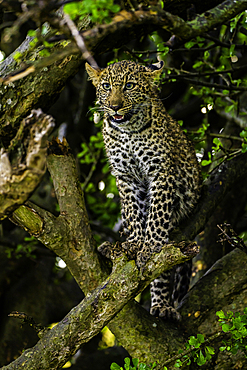 A Leopard, Panthera pardus, resting in a tree in the Maasai Mara National Reserve, Kenya.